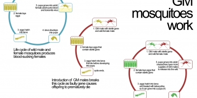 Further Reading on GMO Mosquitos